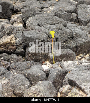 Green shoots of a mangrove (Rhizophora species) appear in black lava rocks where a propagule has washed ashore on - Stock Image
