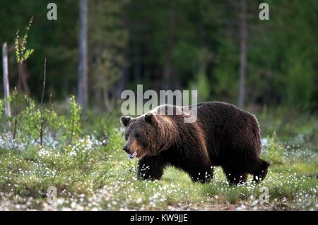 Eurasian Brown Bear, Finland, - Stock Image