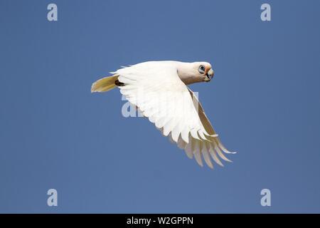 Little Corella in flight Cacatua sanguinea - Stock Image