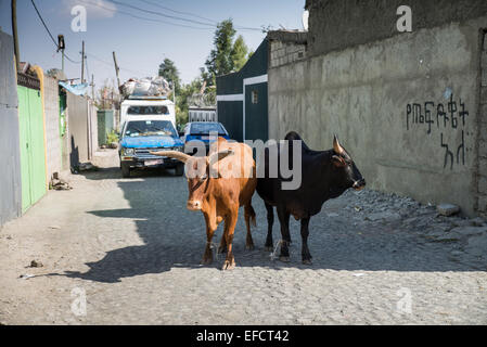 Cattle in the street of the Adsis Ababa, Ethiopia, Africa - Stock Image