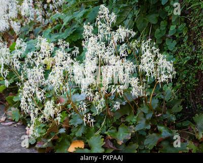 White autumn flowers of the hardy perennial woodland plant, Saxifraga fortunei - Stock Image