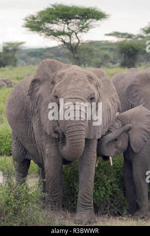 Tanzania, Africa. Mother African Elephant an young. - Stock Image