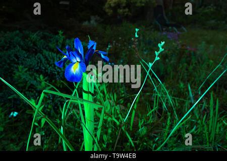 Creative photograph of illuminated Blue Violet Iris flower off centre within dark garden. - Stock Image