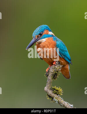 Kingfisher (Alcedo atthis) perching on a mossy stick, Scotland - Stock Image