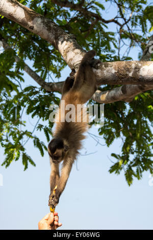 Brown Capuchin Monkey, Cebus apella, hanging down from a tree to reach a banana held by a person,Pantanal, Mato - Stock Image