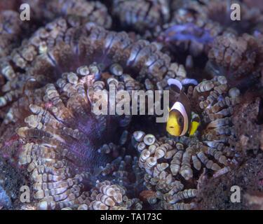 Juvenile clownfish peers from colorful beaded tentacle anemone (Heteractis aurora) Lembeh Straits, Indonesia. - Stock Image
