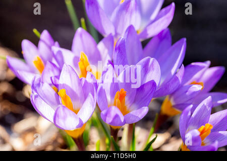Closeup of purple crocus in spring - Stock Image