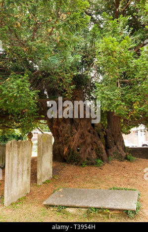 The Yew tree in the churchyard of St Mary's church in Downe is believed to be over 1700 years old. - Stock Image