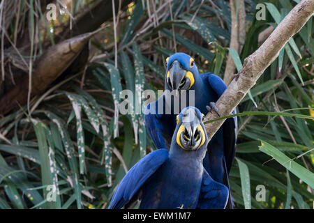 A Pair of  Hyacinth Macaws, Anodorhynchus hyacinthinus, perched in a tree, Pantanal, Mato Grosso, Brazil, South - Stock Image