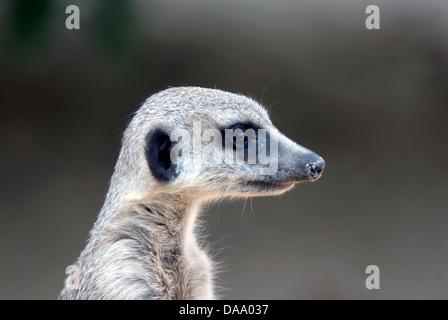 Meerkat Suricate Suricata suricatta cute © Doug Blane - Stock Image
