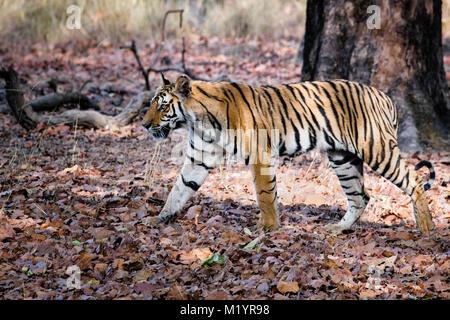 Two year old wild Bengal tiger, Panthera tigris tigris, walking in Bandhavgarh Tiger Reserve, Madhya Pradesh, India - Stock Image