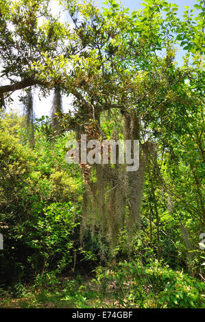 Spanish moss on live oaktree. - Stock Image
