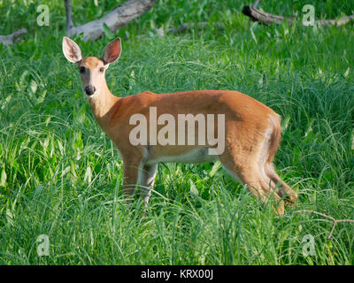 White-tailed deer doe. Cook County, Illinois. - Stock Image