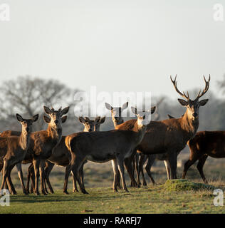 Stag and Hinds at Berkeley Deer Park, Gloucestershire. - Stock Image
