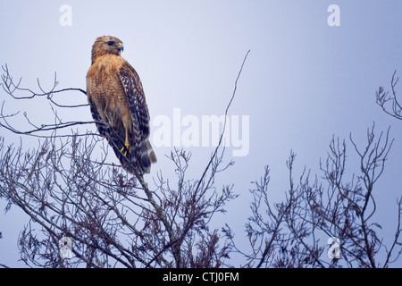 Juvenile Red Tailed Hawk - Stock Image