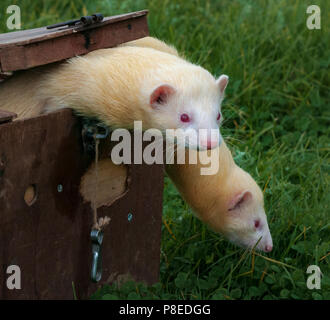 White or albino ferret climbing out of the box used for transporting ferrets which are used in pest control to catch rabbits - Stock Image