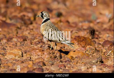 Inland dotterel, boulia, queensland, australia - Stock Image