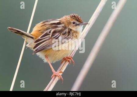 Zitting Cisticola, Perched on a stem, Campania, Italy (Cisticola juncidis) - Stock Image