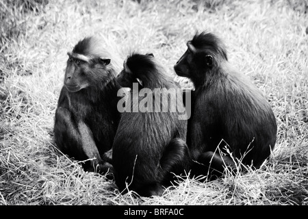 three monkeys in a group - Stock Image