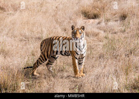 Two year old Bengal Tiger cub, Panthera tigris tigris, standing in dry grass Bandhavgarh Tiger Reserve, Madhya Pradesh, India - Stock Image