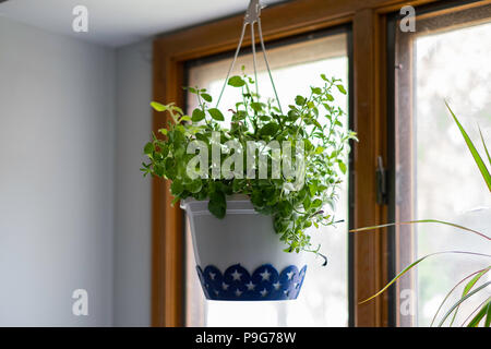 A decorative plastic pot of petunias with no flowers hanging from the ceiling inside, by a window. - Stock Image
