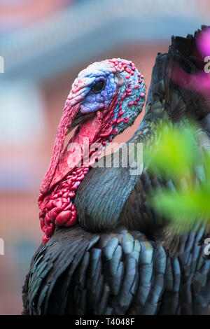 Head of a turkey with bright red and blue colors and a green meadow as background - Stock Image