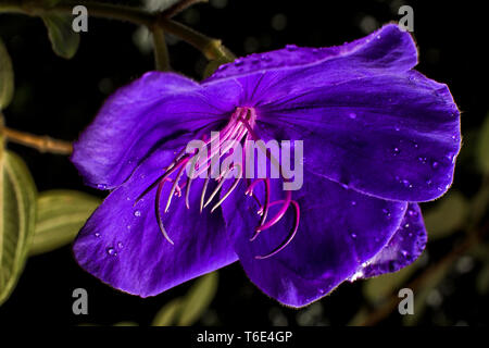 tibouchina flower in the colombian rain forest - Stock Image