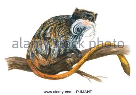 imperial mustache tamarin saguinus imperator - Stock Image
