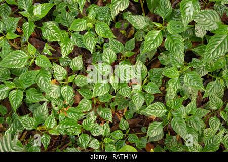 close up of lush green plant on forest floor, Bwindi Impenetrable National Park, Uganda, Africa - Stock Image