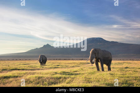 Two bull elephants browsing on grasslands at the foot of Mount Kilimanjaro. - Stock Image