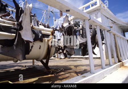 sharkfins drying on fishing vessel - Stock Image