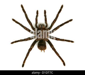 Bird Eating Tarantula Spider, Arachnida. - Stock Image