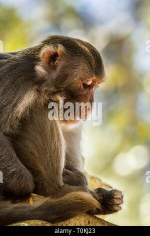 A Rhesus Macaque, resting on Mount Popa, Myanmar - Stock Image