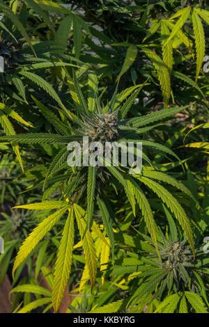 trichomes, colas, Blue Dream, Cannabis Bluedream, cannabis sativa, C sativa, sativa, cannabis plant, marijuana plant, - Stock Image