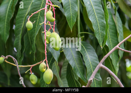 Close Up images of Fruit at Phipps Botanical Garden - Stock Image