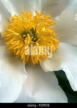 Paeonia lactiflora 'White Wings' Peony flower closeup - Stock Image