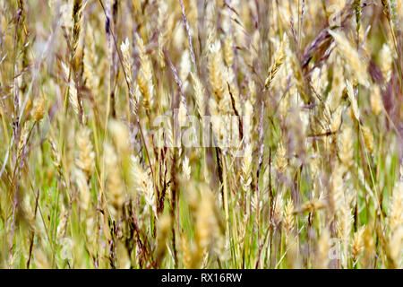 Grass, a close-up abstract shot of several types of grass growing by the roadside. - Stock Image