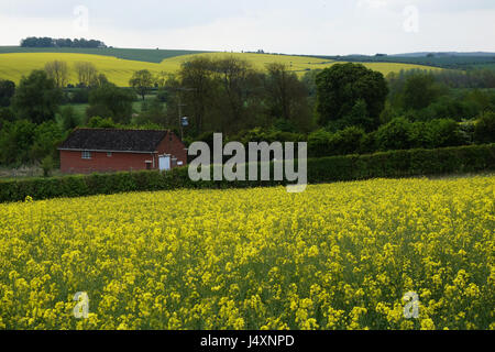 rape field somewhere in East Sussex, United Kingdom - Stock Image