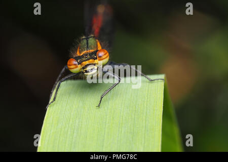 Large Red Damselfly (Pyrrhosoma nymphula) perched on blade of grass. Tipperary, Ireland - Stock Image
