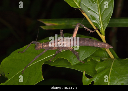 Stick insect - Stock Image