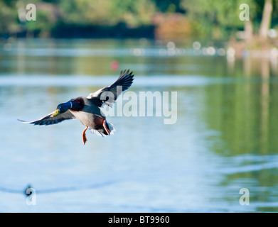Mallard drake on its approach to land on Arrow country park lake, in Redditch, Worcs, UK - Stock Image