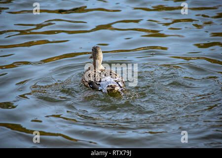 Water off a ducks back. Female mallard duck surfaced from a dive with lake water flowing off feathers - Stock Image