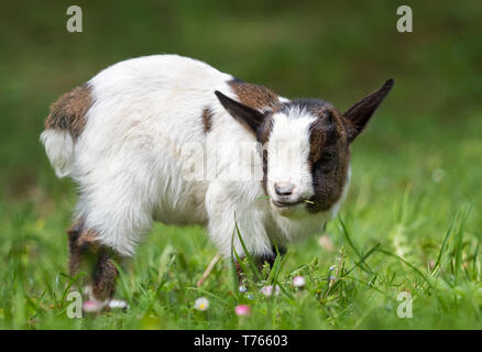Cute baby goat - Stock Image
