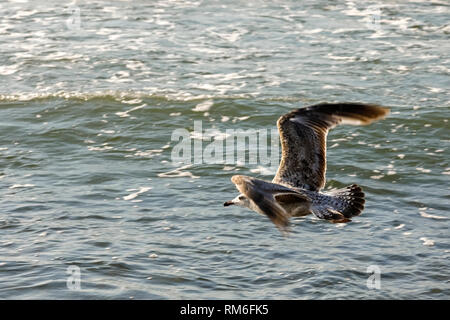A seagull flies over the water. This view was observed over the waters of the Baltic Sea near the beach in Kolobrzeg, Poland. - Stock Image