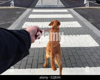 A point of view image of a pet labrador retriever dog pulling hard on a leash across a pedestrian or zebra crossing - Stock Image