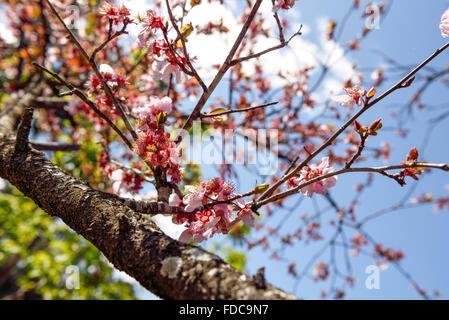 Colour Burst from te Sakura family. - Stock Image