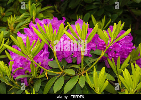 Purple rhododendron flowers growing in a garden in north east Italy. They are wet from recent rain - Stock Image