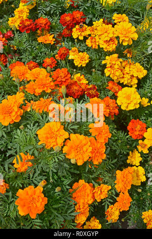 Colourful flower border with a display of French Marigolds,  Marigold 'Durango Improved' in assorted colours - Stock Image