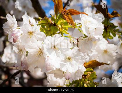 A white flowering cherry tree (Prunus 'tai-haku') against a blue sky in springtime - Stock Image