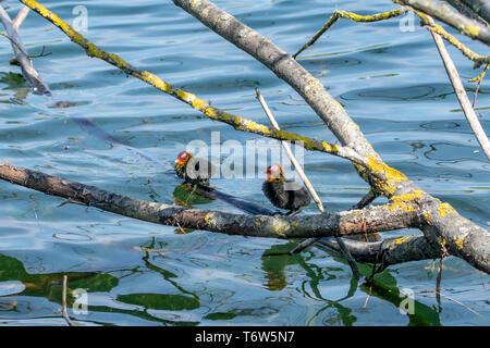 Moorhen ducklings in spring - Stock Image